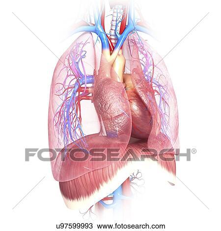Dibujo - pecho, anatomía, ilustraciones u97599993 - Buscar Clip Art ...