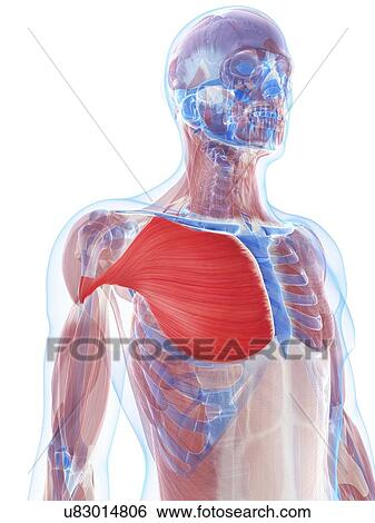 Stock Illustration of Pectoralis major muscle, artwork u83014806 ...