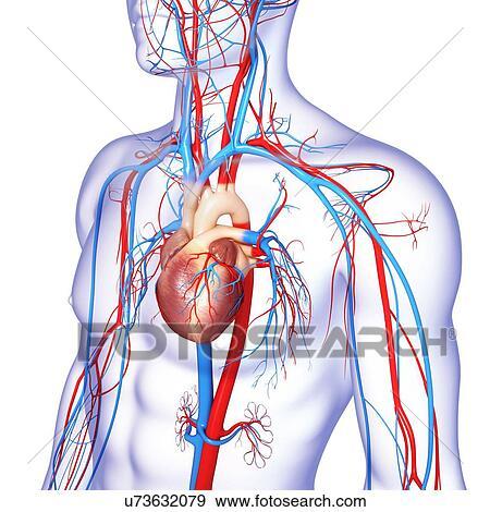 Colección de ilustraciones - sistema cardiovascular, ilustraciones ...