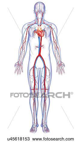 Dibujo - sistema cardiovascular, ilustraciones u45618153 - Buscar ...