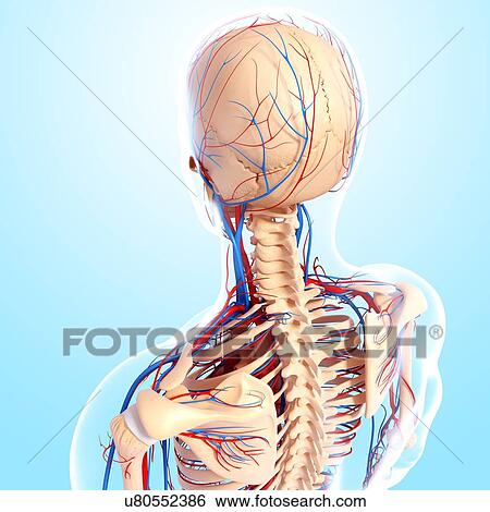 Stock Illustration Of Upper Body Anatomy Artwork U80552386 Search