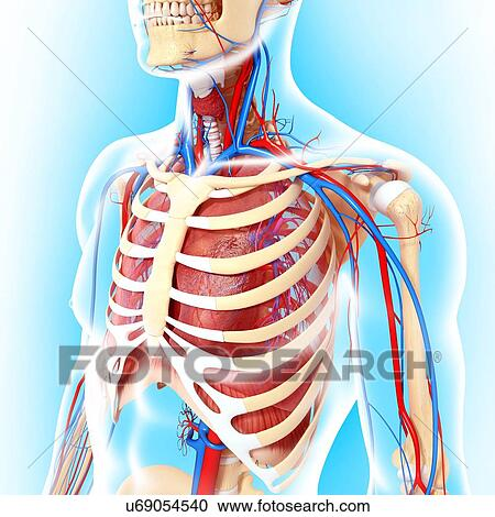 Exelent Upper Torso Anatomy Gift - Anatomy And Physiology Biology ...