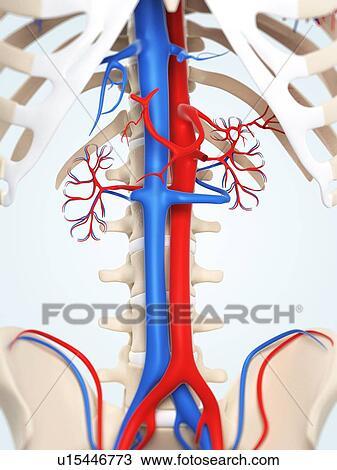 Drawing of Abdominal aorta and vena cava, artwork u15446773 - Search ...