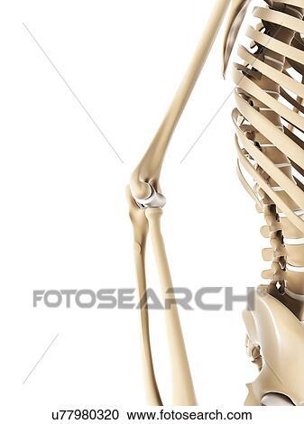 Colección de ilustraciones - codo, huesos, ilustraciones u77980320 ...