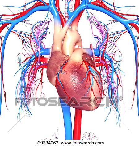 Coeur humain typon dessin u39334063 fotosearch - Dessin coeur humain ...