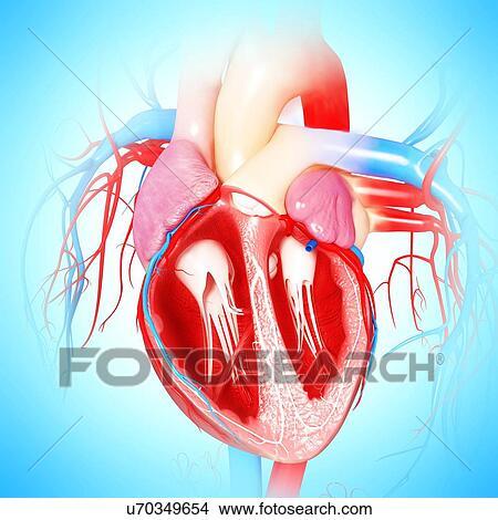 Dibujos Corazón Humano Ilustraciones U70349654 Buscar Clip Art