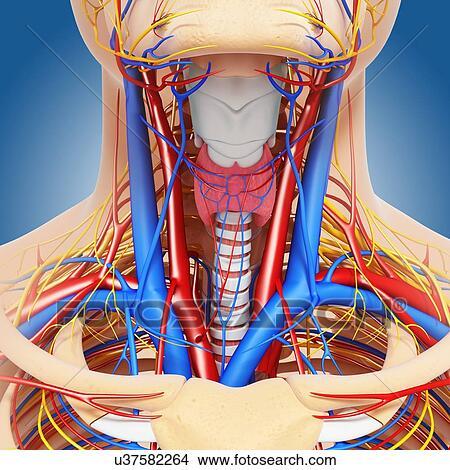Dibujos - cuello, anatomía, ilustraciones u37582264 - Buscar Clip ...