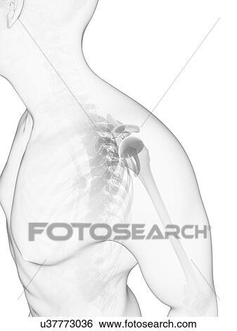 Colección de ilustraciones - hombro, huesos, ilustraciones u37773036 ...