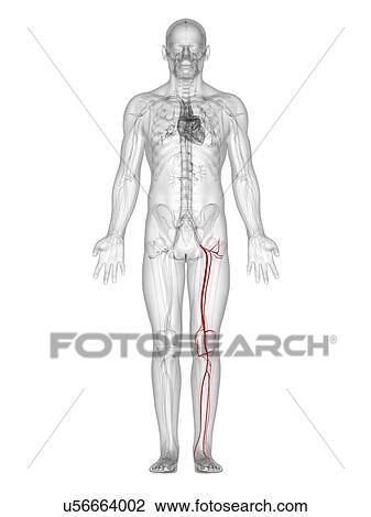 Clip Art of Leg arteries, artwork u56664002 - Search Clipart ...