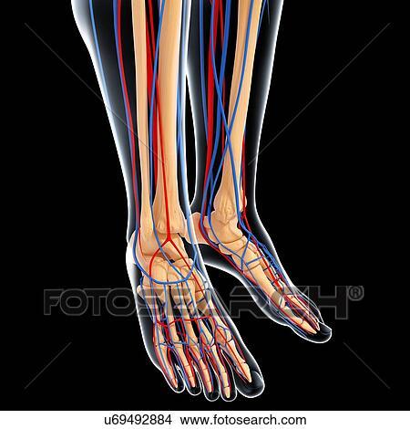 Drawings of Lower leg anatomy, artwork u69492884 - Search Clip Art ...