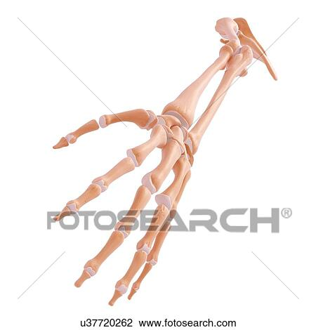 Clip Art - brazo humano, huesos, ilustraciones u37720262 - Buscar ...