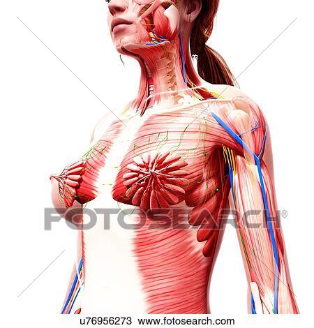Drawing Of Female Anatomy Artwork U76956273 Search Clipart
