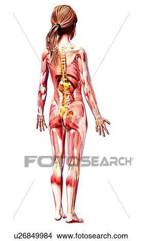 Drawings Of Female Anatomy Artwork U26849984 Search Clip Art