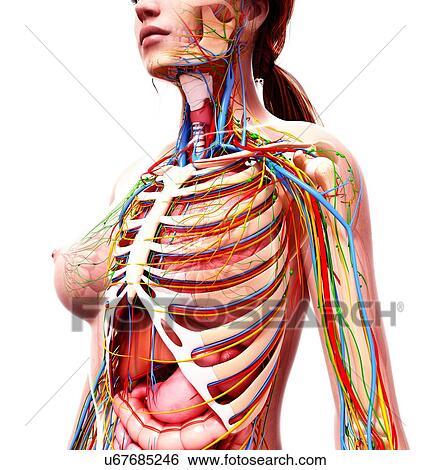 Stock Illustration of Female anatomy, artwork u67685246 - Search ...