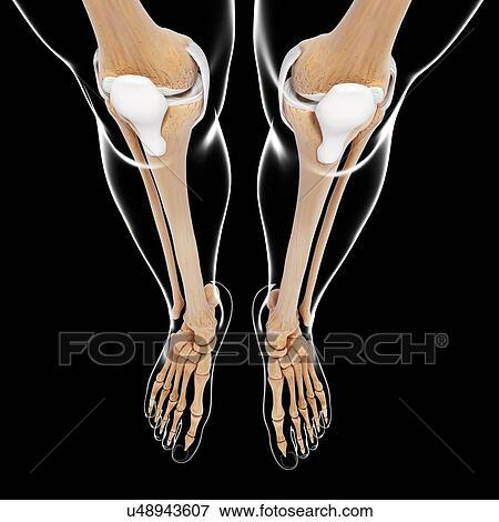 Stock Illustration of Human leg bones, artwork u48943607 - Search ...