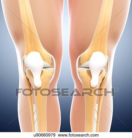 Stock Illustration of Human leg bones, artwork u90660979 - Search ...