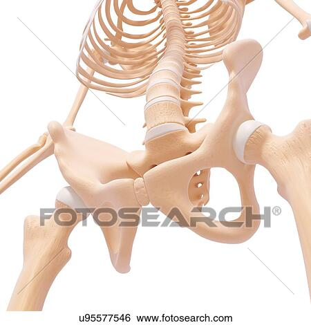 Stock Illustration of Human pelvic bones, artwork u95577546 - Search ...