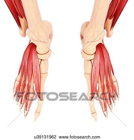 Clip Art - menschlicher fuß, muskulatur, kunstwerk u39131962 - Suche ...