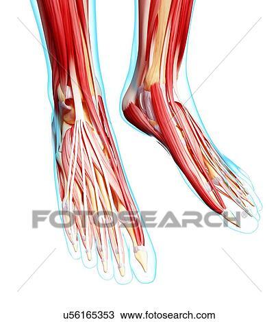 Zeichnung - menschlicher fuß, muskulatur, kunstwerk u56165353 ...