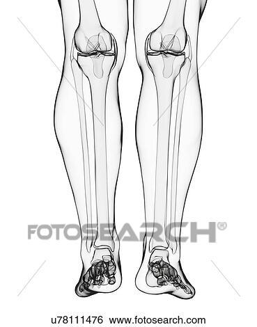 Stock Illustration - menschliches bein, knochen, kunstwerk u78111476 ...