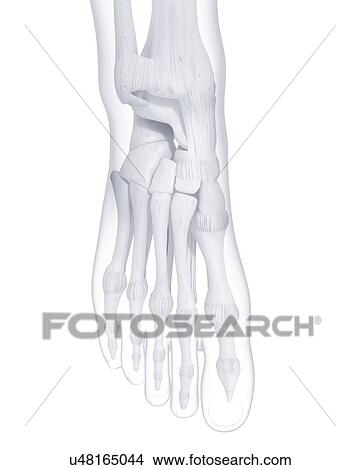 Dessin De Pied Humain dessins - pied humain, os, typon u48165044 - recherche de clip arts
