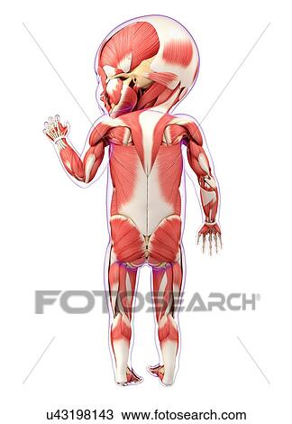 Drawing of Baby\'s muscular system, artwork u43198143 - Search ...