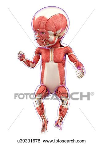 Colección de ilustraciones - bebé, sistema muscular, ilustraciones ...