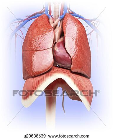 Colección de ilustraciones - corazón humano, y, pulmones ...