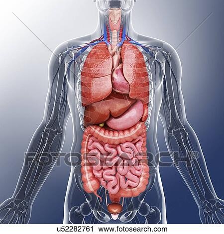 Clipart of Human internal organs, artwork u52282761 - Search Clip ...