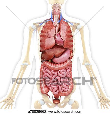 Clip Art - menschlich, innere organe, kunstwerk u78825662 - Suche ...