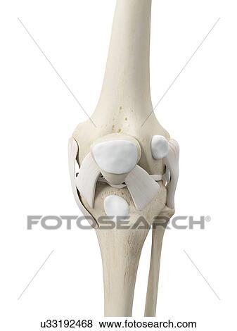人間のひざ 腱 アートワーク イラスト U33192468 Fotosearch