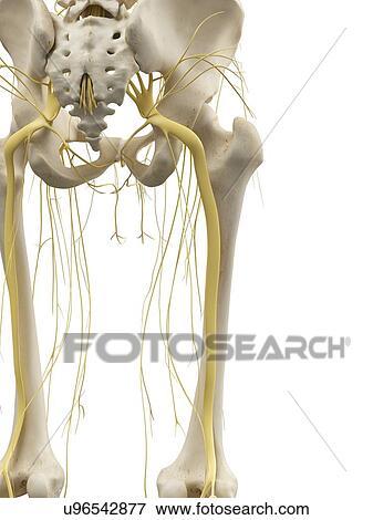 Stock Illustration - bein knochen, und, nerven, kunstwerk u96542877 ...