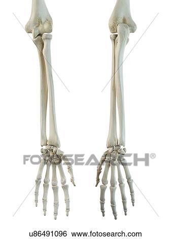 Colección de ilustraciones - brazo humano, huesos, ilustraciones ...