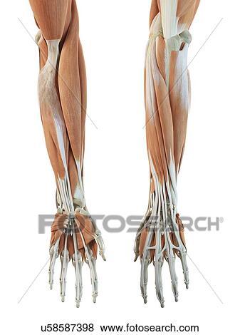 Colección de ilustraciones - brazo humano, músculos, ilustraciones ...