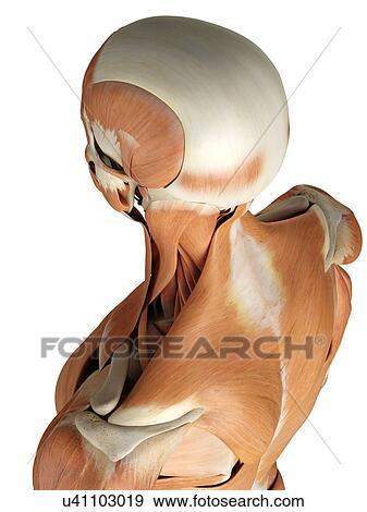 Colección de ilustraciones - cabeza y, músculos cuello ...