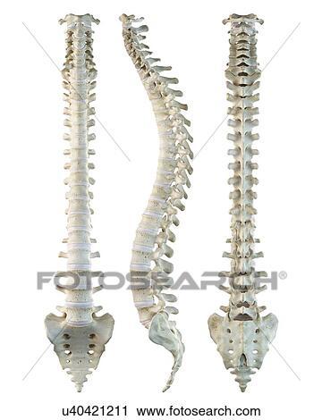 Clipart - espina dorsal humana, ilustraciones u40421211 - Buscar ...