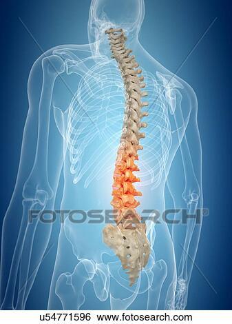 Colección de ilustraciones - espina dorsal humana, ilustraciones ...