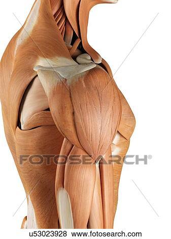 Colección de ilustraciones - hombro humano, músculos, ilustraciones ...