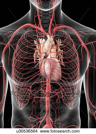 Drawings of Human heart and arteries, artwork u30536564 - Search ...