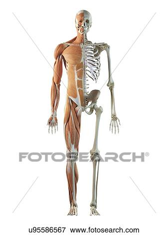 stock illustration of human musculoskeletal system artwork