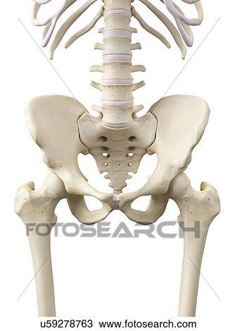 Dibujo - humano, cadera, huesos, ilustraciones u59278763 - Buscar ...