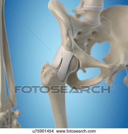 Dibujos - humano, cadera, ligamentos, ilustraciones u75901454 ...