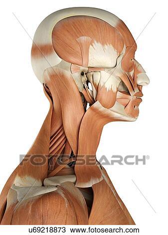 Dibujo - humano, músculos faciales, ilustraciones u69218873 - Buscar ...