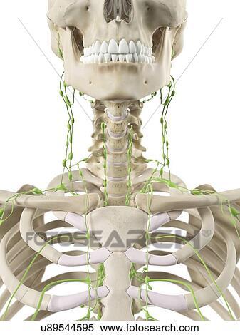 Stock Illustration - lymphknoten, in, hals, kunstwerk u89544595 ...