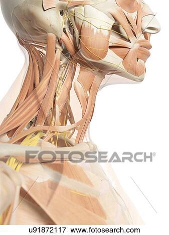 Colección de ilustraciones - músculos cuello, y, nervios ...