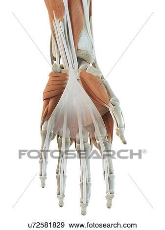 Colección de ilustraciones - mano humana, músculos, ilustraciones ...
