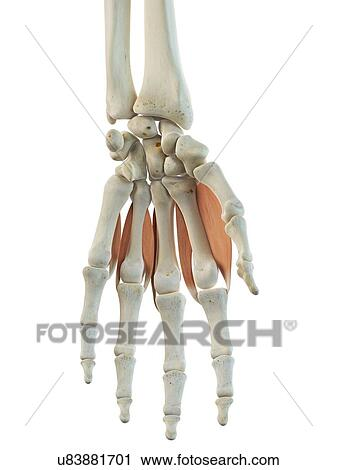 Clipart - mano, músculos, ilustraciones u83881701 - Buscar Clip Art ...