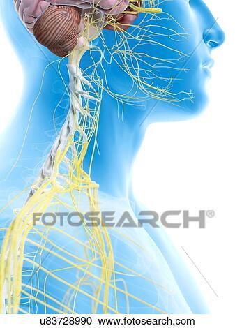 Stock Illustrationen - menschlich, nerven, in, hals, kunstwerk ...