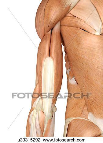 Clip Art - menschlicher arm, muskeln, kunstwerk u33315292 - Suche ...
