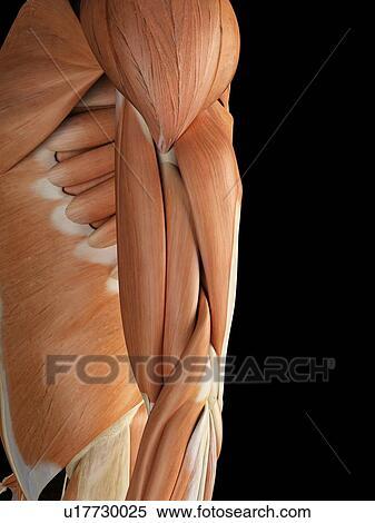 Stock Illustration - menschlicher arm, muskeln, kunstwerk u17730025 ...